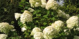 Hydrangea-paniculata-Limelight-groenthavedesign