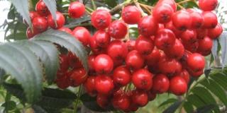 Sorbus-Autumn-Spire-groenthavedesign