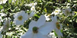 Anemone_Honorine_Jobert_planteliste