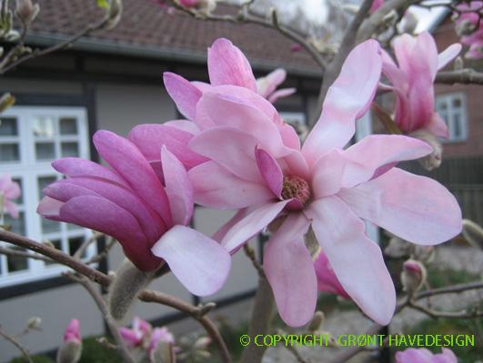 Så kom der blomster på vores Magnolia i forhaven