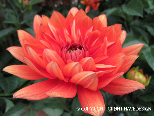 Dahlia med lysende orange