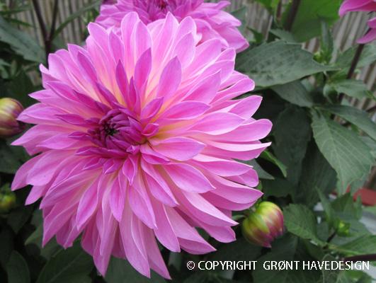 Dahlia Zarco udmærker sig især ved en imponerende blomstring.