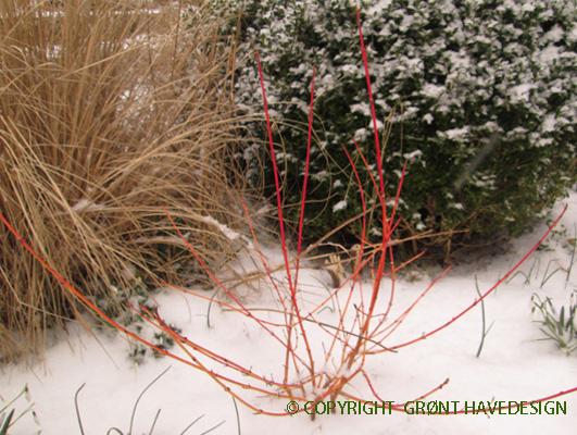 Kornel med orangegrene skaber blikfang i vinterdagene