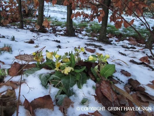 Primula i vintersneen