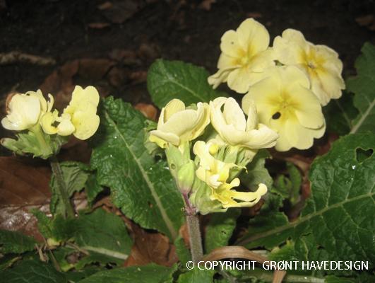 Den sart gule primula lyser vældigt op mod den mørke vinterjord