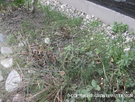 Bed i forhaven sat til med små skud af Allium 'Hair'
