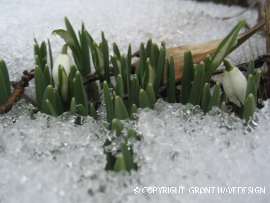 Vintergækker dukker frem af sneen