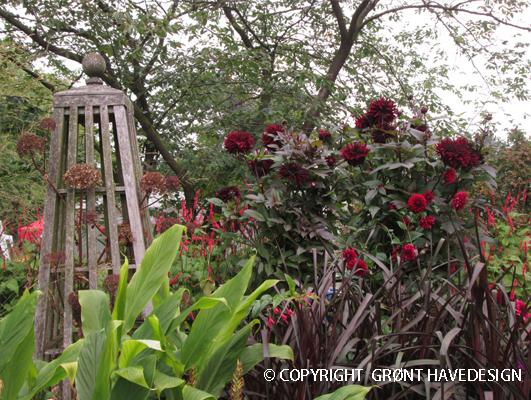 I Grønt Havedesign holder vi meget af Dahliafamilien. Her er det sortrøde på en efterårsdag.