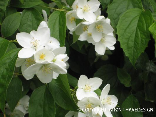 Enkeltblomstrende helt hvid jasmin