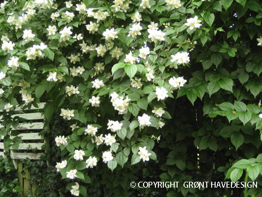 Enkeltblomstrende hvid jasmin