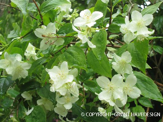 Enkeltblomstrende jasmin