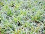 Carex_Ice Dance