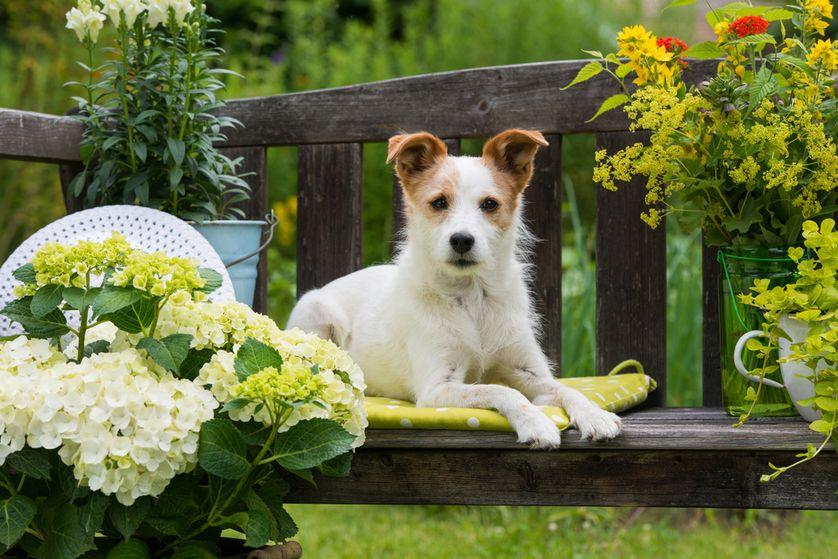 hund til den robust have