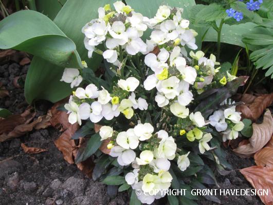 Gyldenlak i hvidgule toner