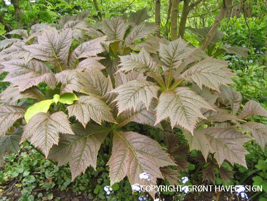 Bronzeblad er en frodig bladstaude til havens skyggepladser.