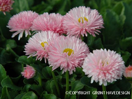 Tusindfryd i rosa