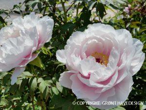 Paeonia-suffruticosa-hvidrosa-træpæon-#groenthavedesign.dk
