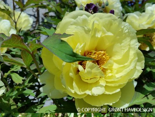 Paeonia-suffruticosa-gul-træpæon-#groenthavedesign.dk