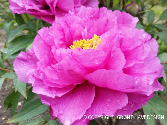 Paeonia-suffruticosa-pink-træpæon-#groenthavedesign.dk